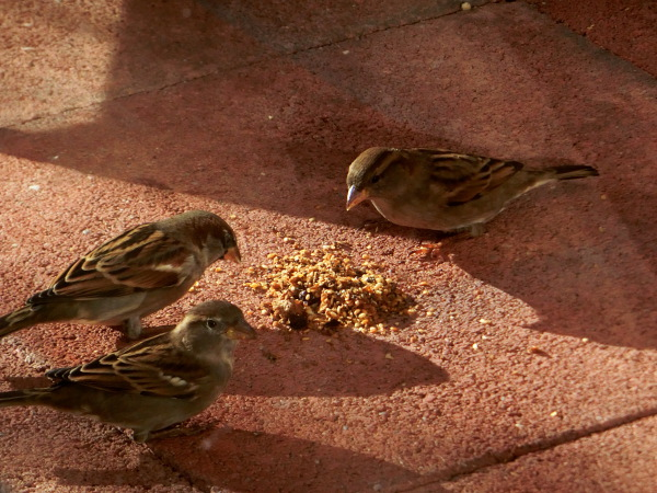 Three sparrows discuss about the partition of the food