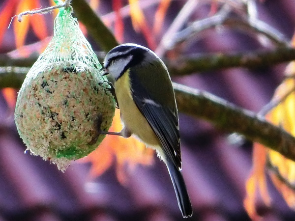 Happy great tit with birds fat ball.