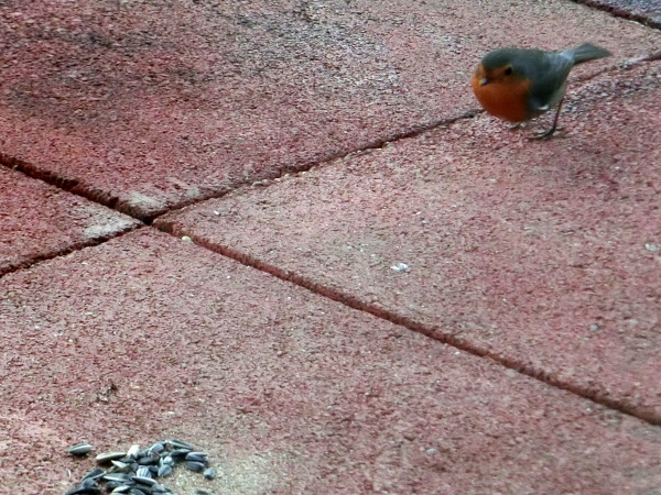 Robin has espied food