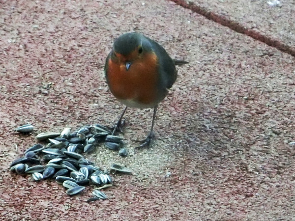 Robins are no vegetarians!